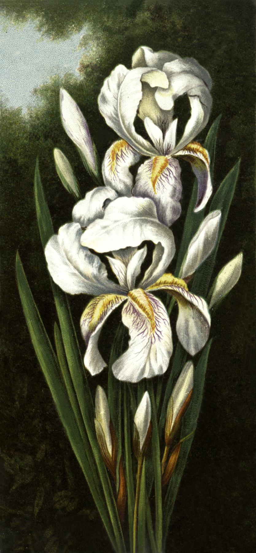 Gorgeous Iris Image
