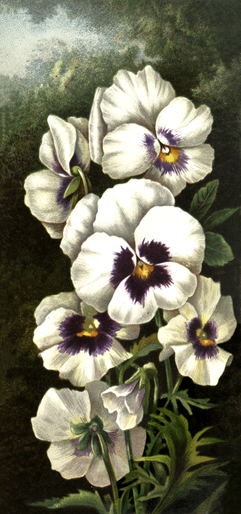 Lovely White and Purple Orchid Image