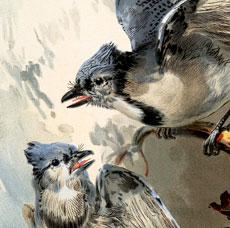 Lovely Blue Jays On Branch Image!