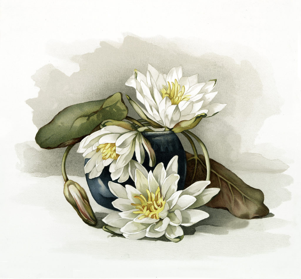 Stunning Vintage Water Lily Flowers