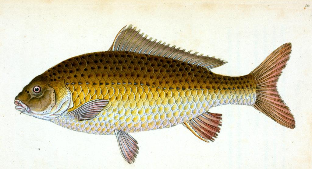 Carp Fish Clip Art