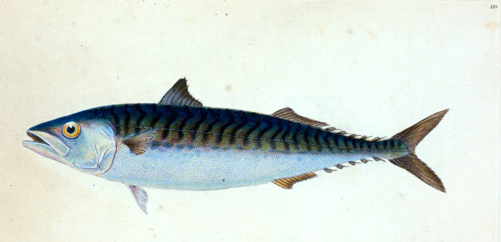 Colorful Mackerel Fish
