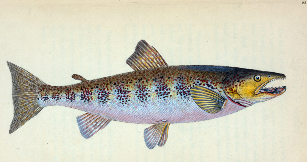 Vintage Trout Graphic