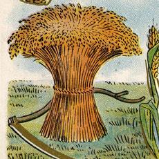 Nostalgic Wheat Harvest Postcard Graphic!