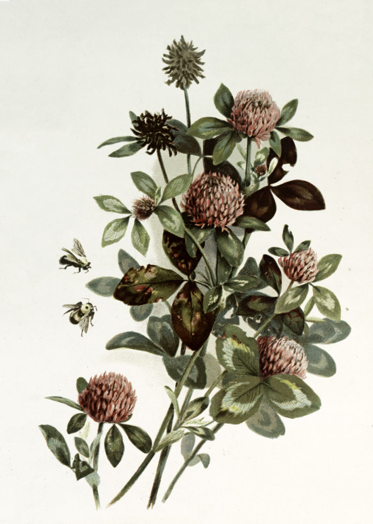 Antique Pink Clover with Bees Botanical Image!