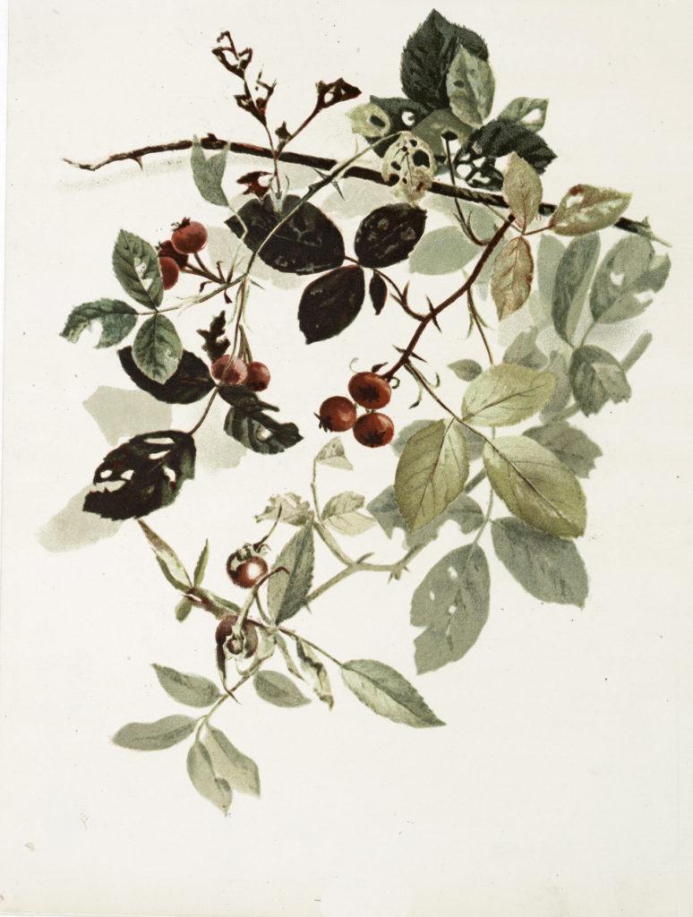 Vintage Red Berries on Vines Image!