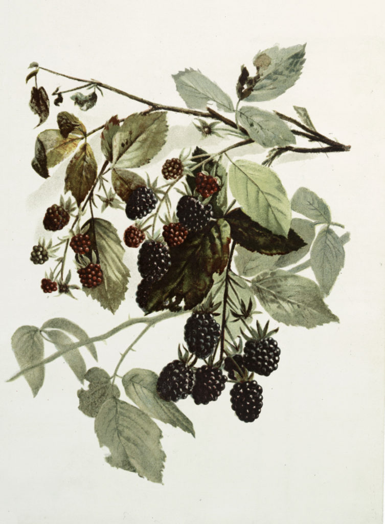 Vintage Botanical Drawing of Blackberries on Vine Graphic!