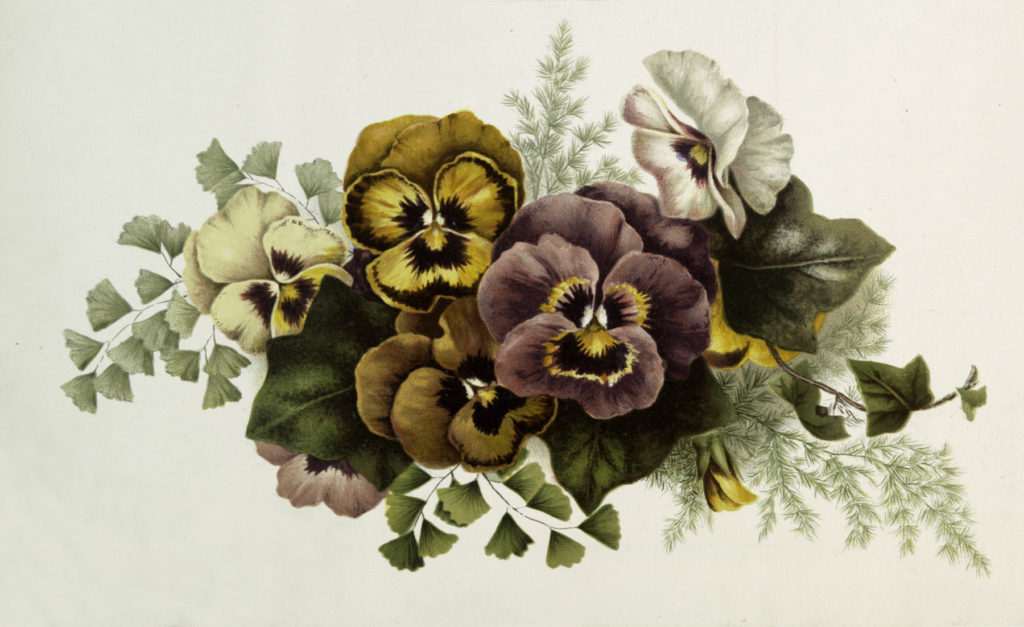 Vintage Multi-Colored Pansy Postcard Image!