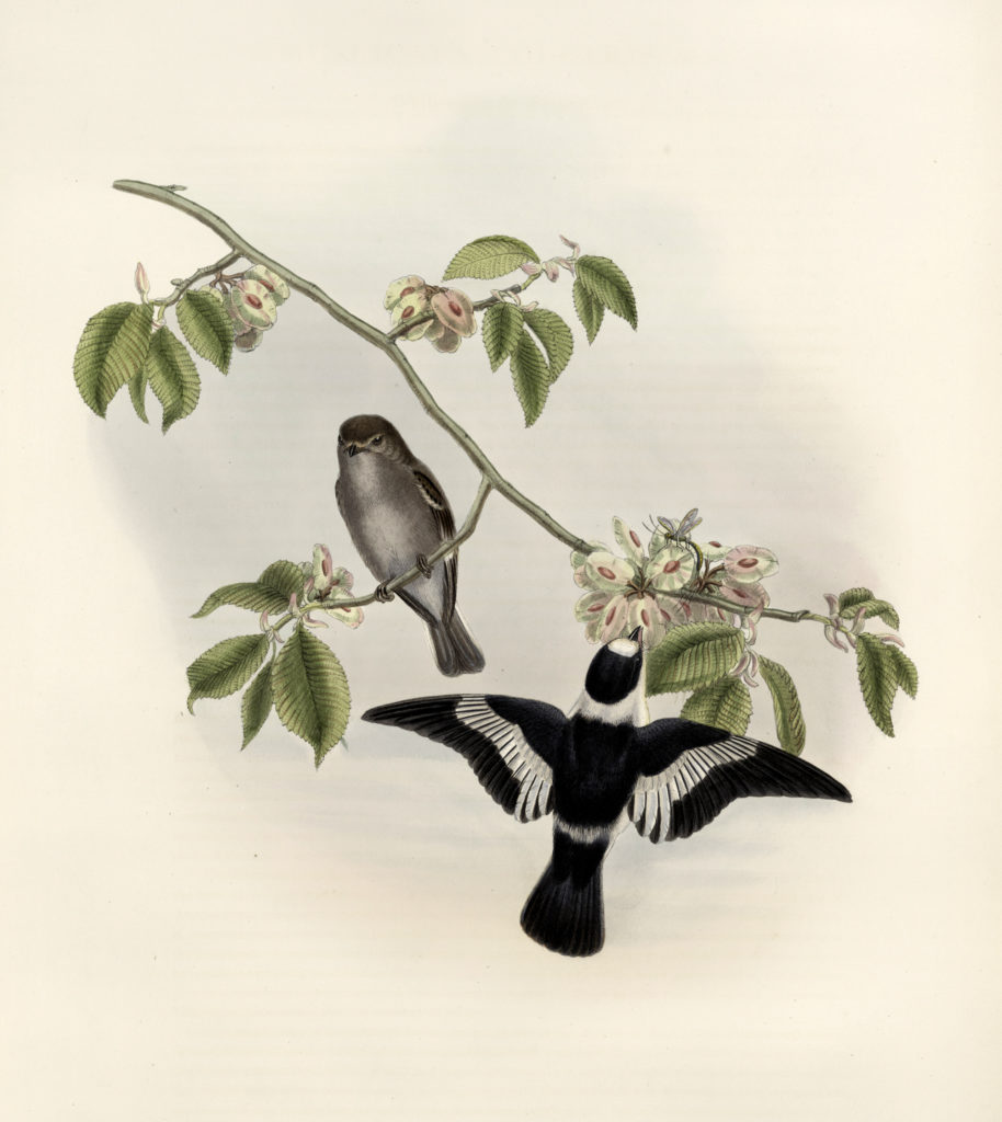 Vintage Blackbird Pair on Floral Branch Download!