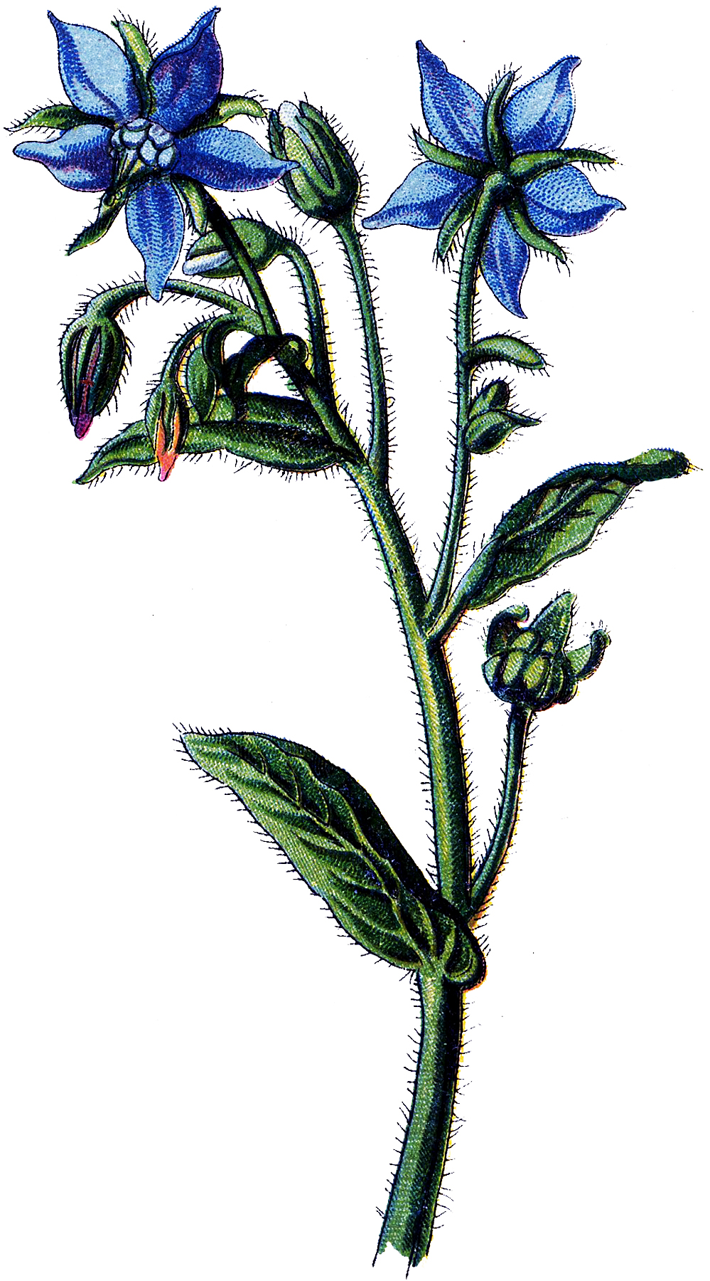 Free Blue Botanical Flower Download