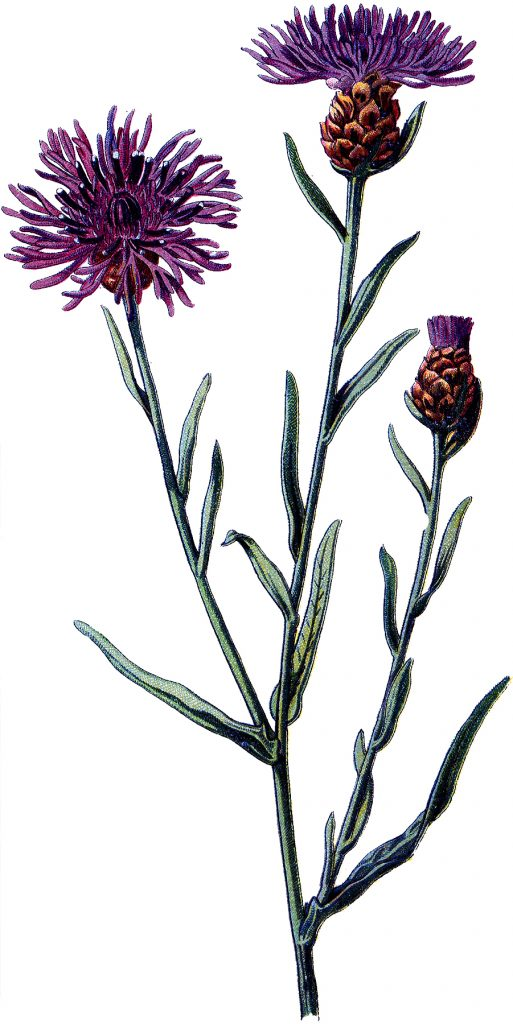 Old Purple Thistle Botanical Image