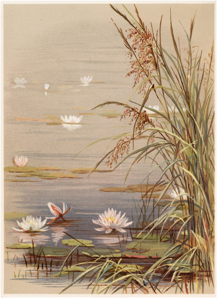 Vintage Water Lily with Reeds Graphic