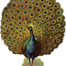 Spectacular Vintage Strutting Peacock with Fan Tail Graphic!