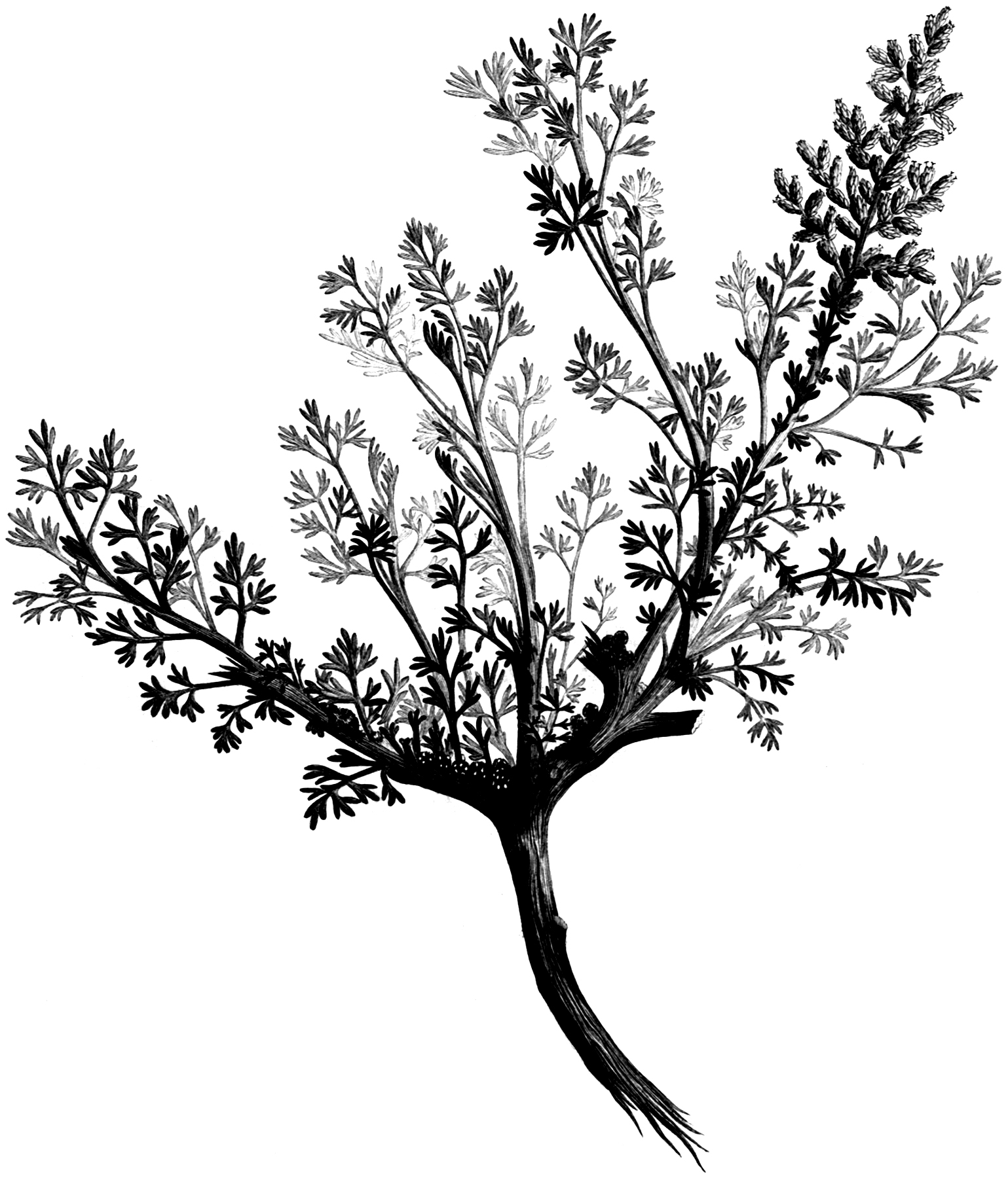 Vintage Black and White Leafy Branch Graphic