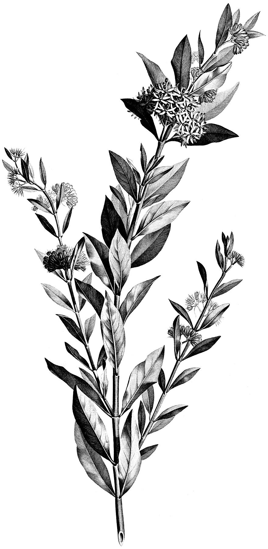 Vintage Black And White Floral Stem Botanical Clip Art The