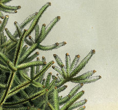 Amazing Pine or Fir Tree Image Printable!