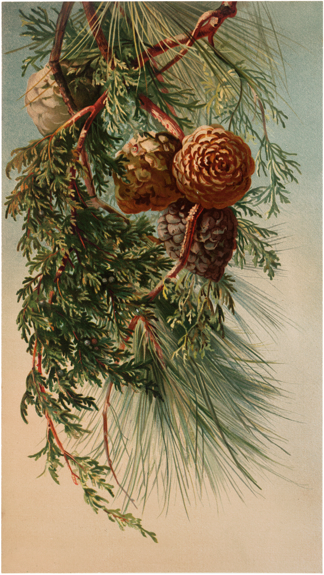 Nostalgic Winter Pine Branch Botanical Graphic