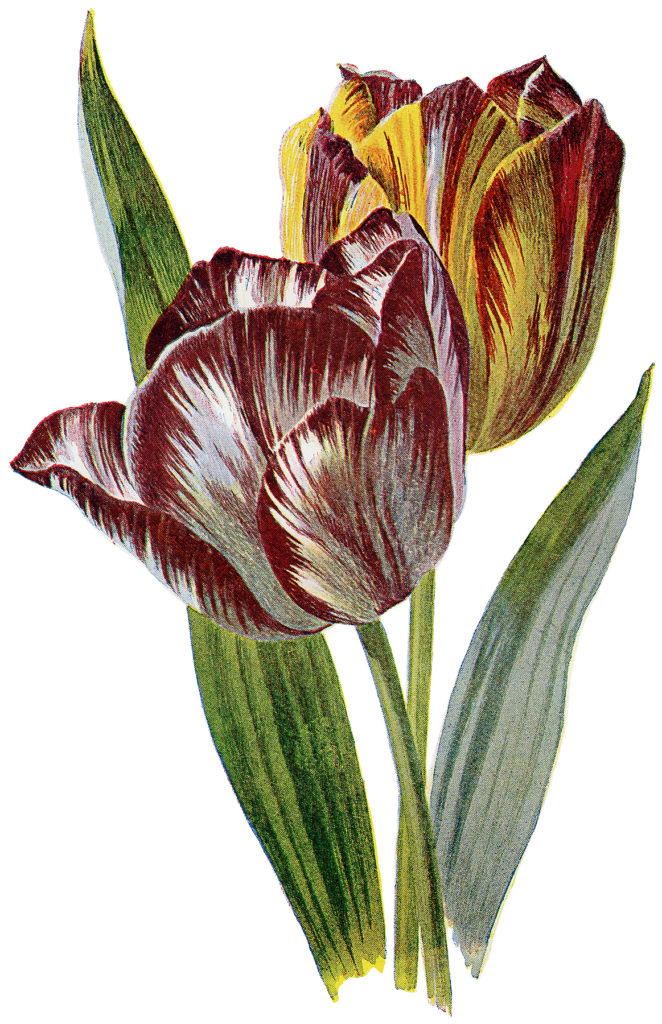 Vintage Red and Yellow Striped Tulip Image