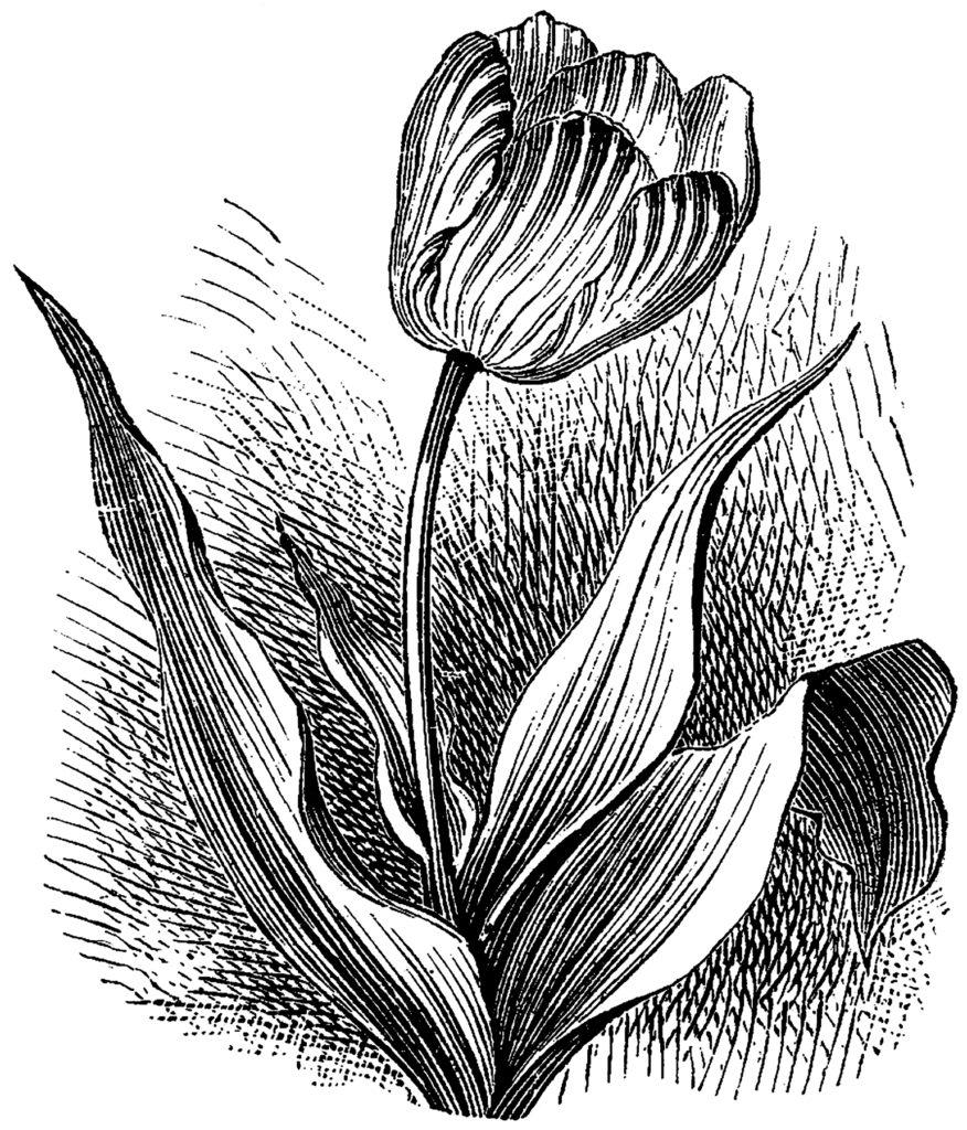 Striped Tulip Engraving Flowers Vintage Image