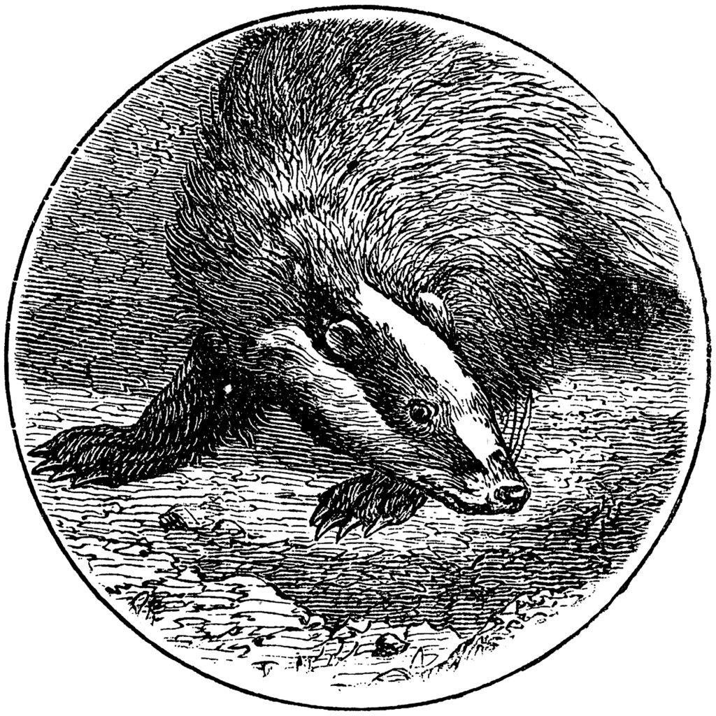 Vintage Badger Engraving Graphic!