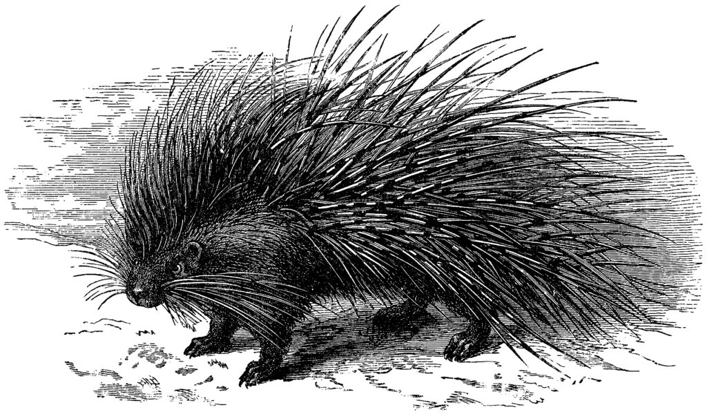 Old Porcupine with Long Quills Engraving!