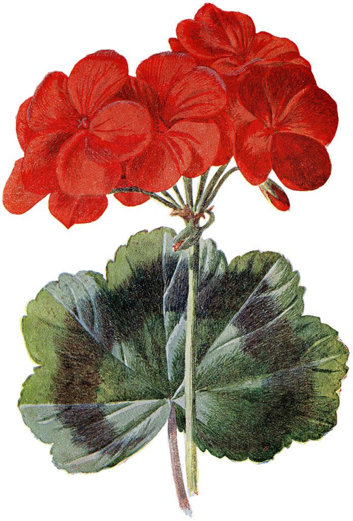 spectacular red geranium botanical image the graphics fairy