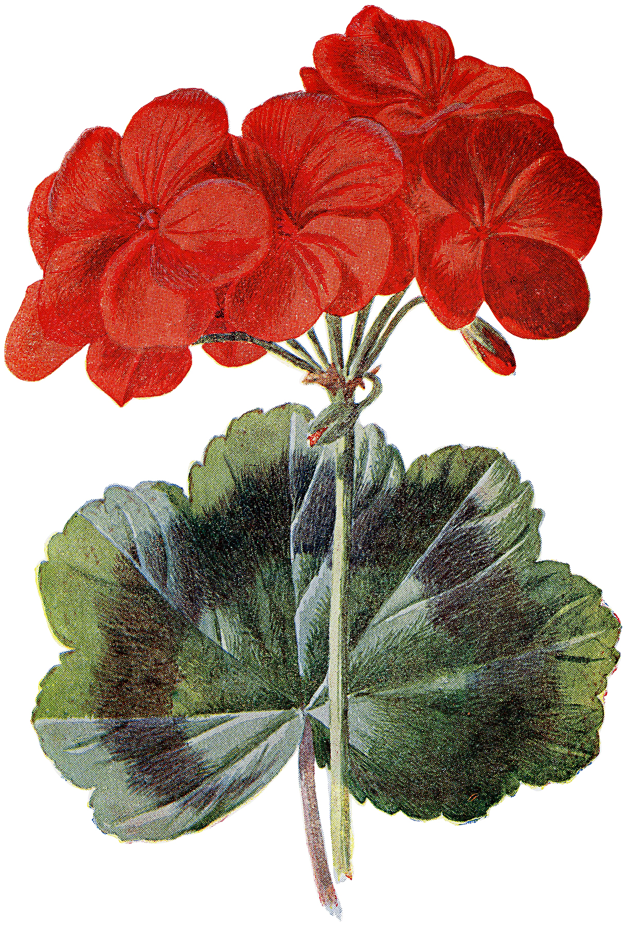 Spectacular Red Geranium Botanical Image! - The Graphics Fairy