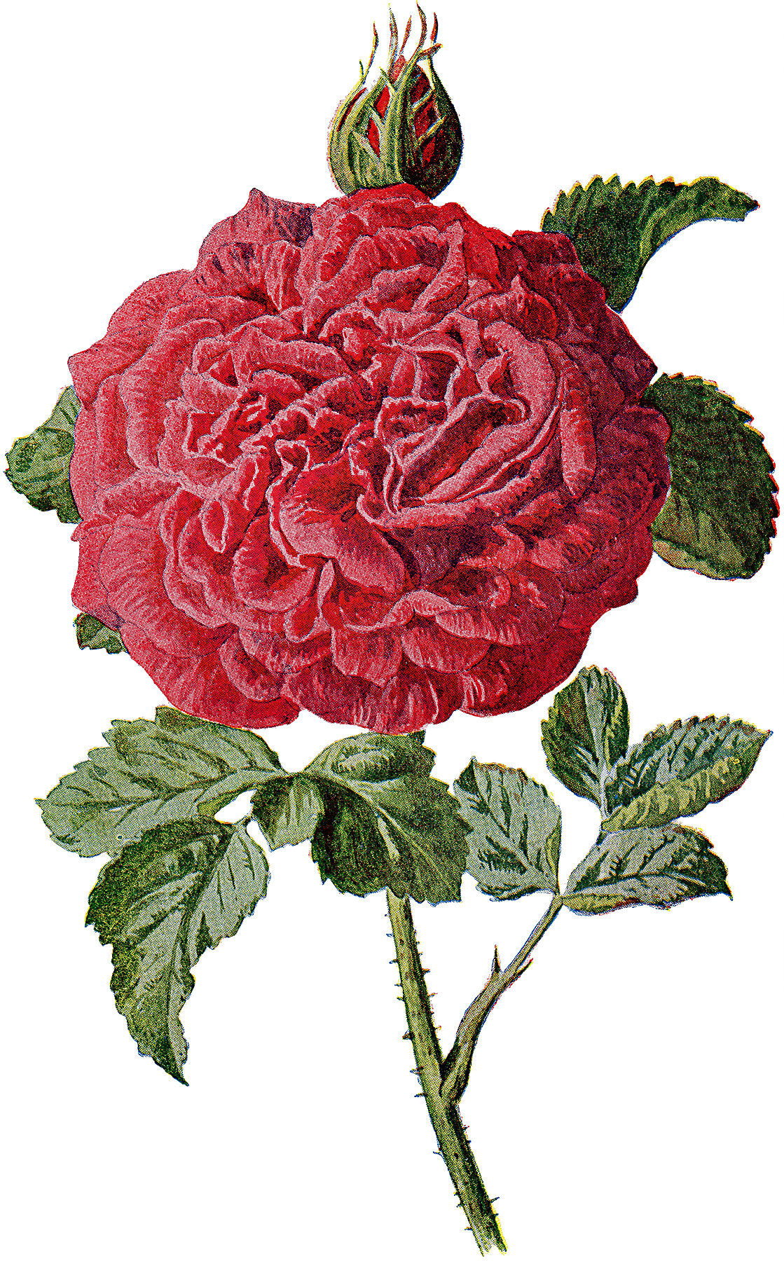 Vintage Large Red Rose and Bud Graphic