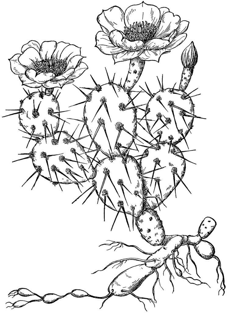 Vintage Prickly Flowering Cactus Botanical Graphic!