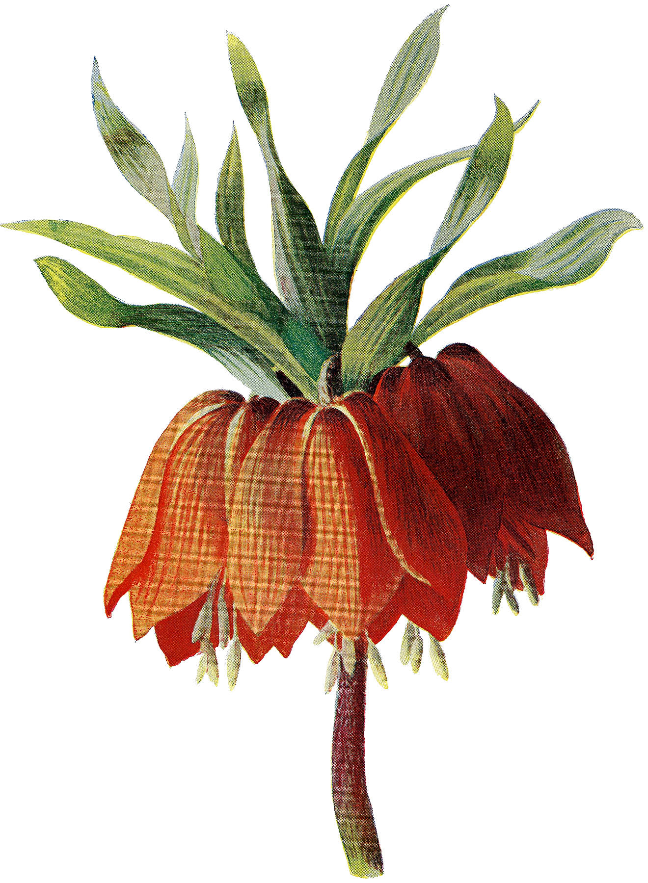 Vintage Stately Crown Imperial Flower Botanical Image The