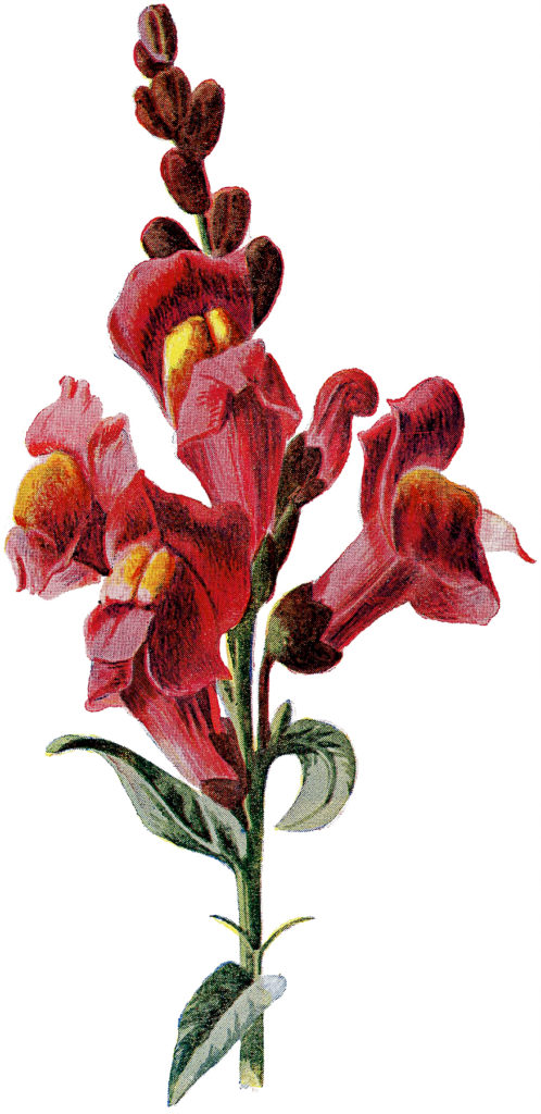 Vintage Tall Stem of Showy Red Flowers Botanical Image!
