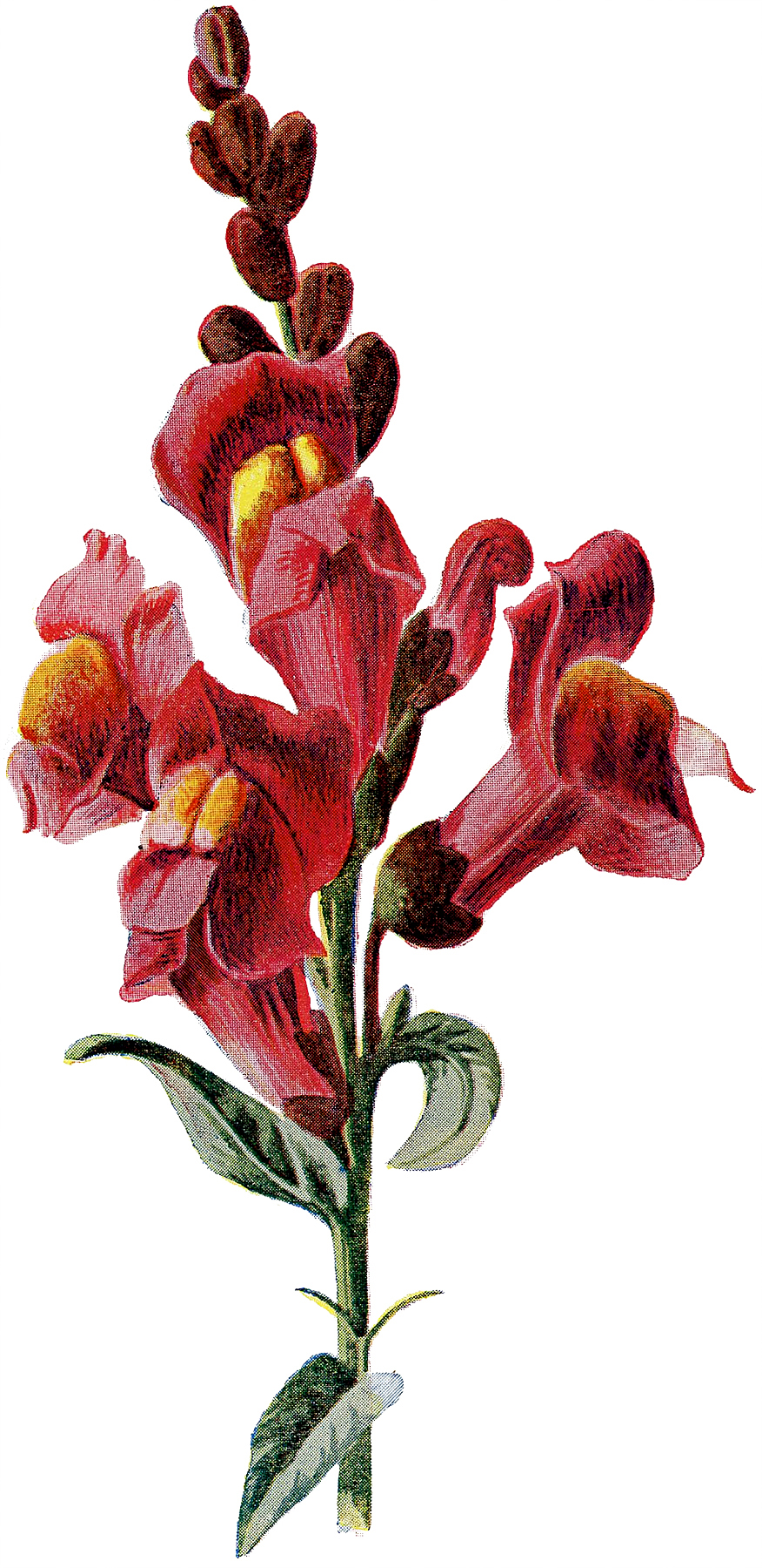 Vintage Tall Stem of Showy Red Flowers Botanical Image