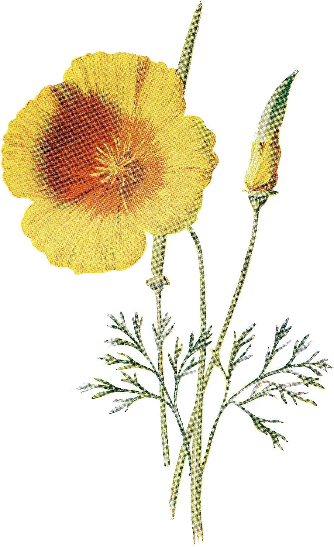 Vintage Yellow California Poppy Botanical Image