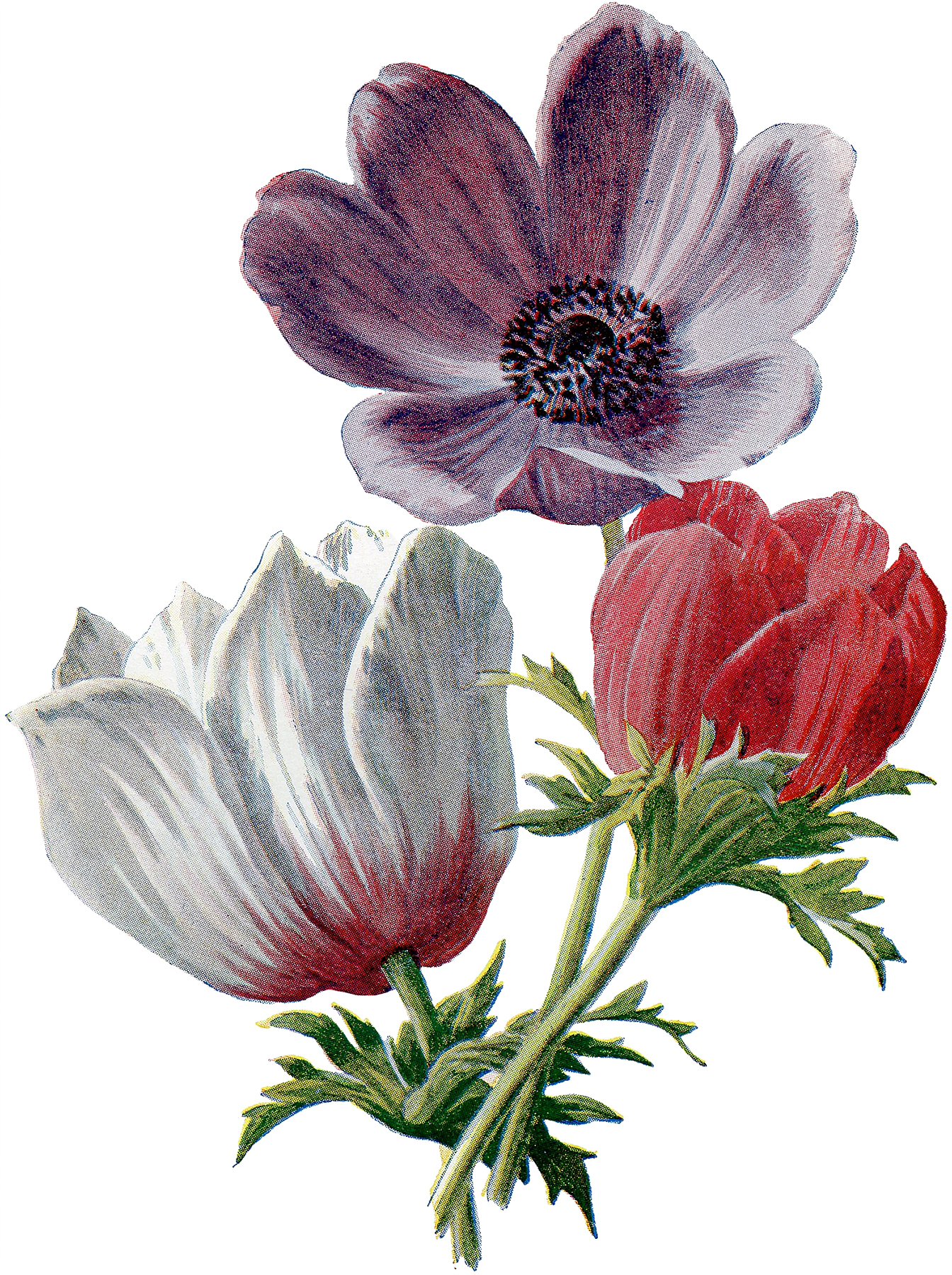 Vintage Lush Red and White Anemones Botanical Graphic!