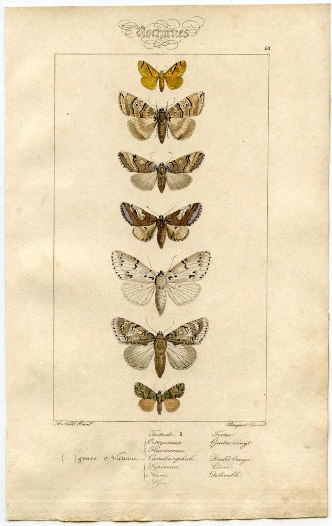 French Moth Print