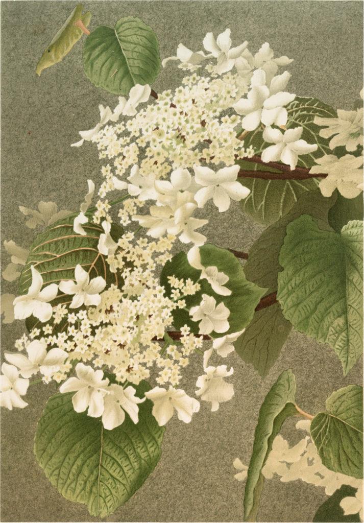 Elegant White Lacecap Hydrangea Image