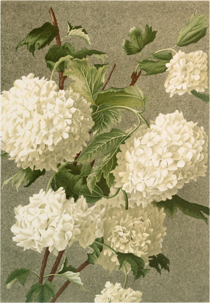 Vintage Blooming White Hydrangea Image