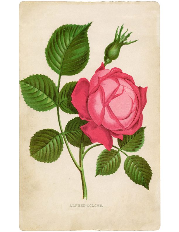picture relating to Printable Rose referred to as Beautiful Crimson Rose Visualize Printable! - The Graphics Fairy
