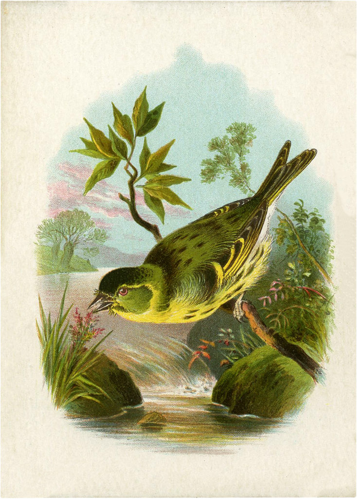 Lovely Vintage Yellow-breasted Green Bird Image!