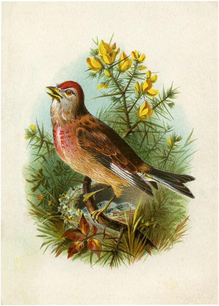 Linnet Ephemera Bird and Poem Cards