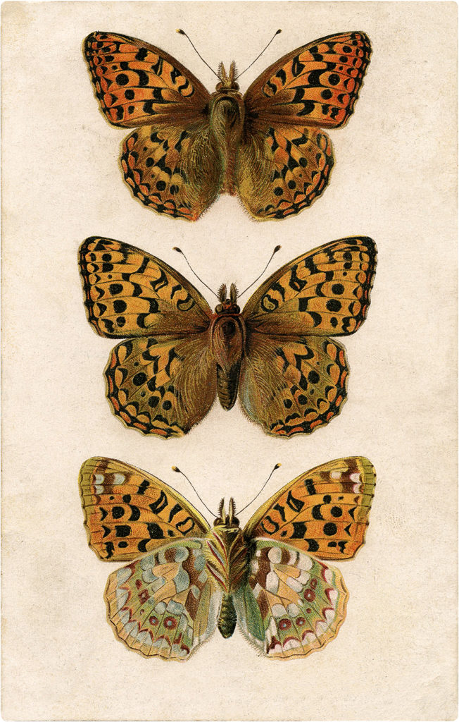 Exquisite Old Illustration of Three Butterflies Image!