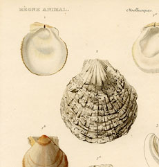 Sea Shells Pictures -Beautiful Printable French Art!
