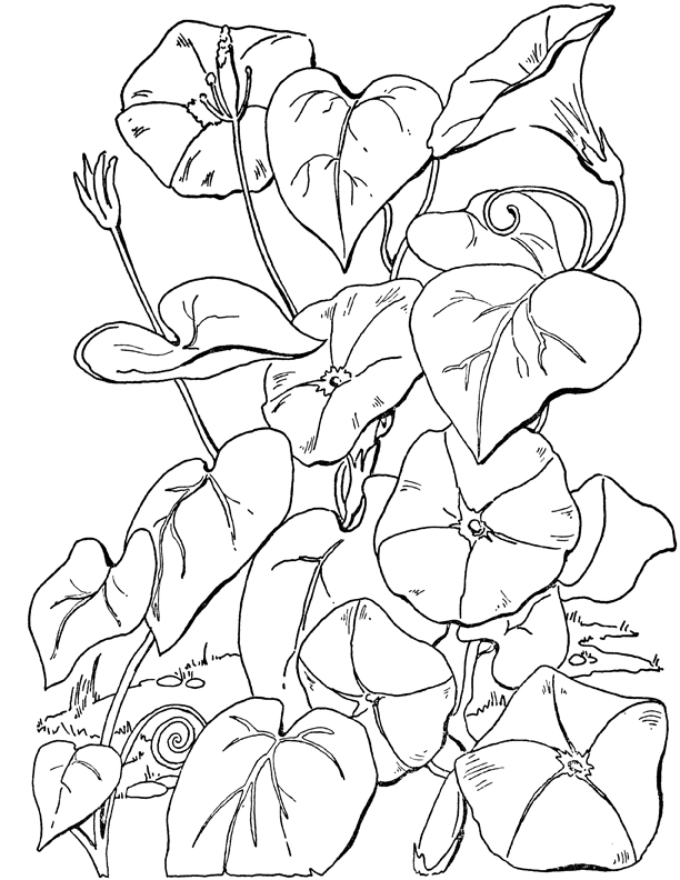 Morning Glories Coloring Page