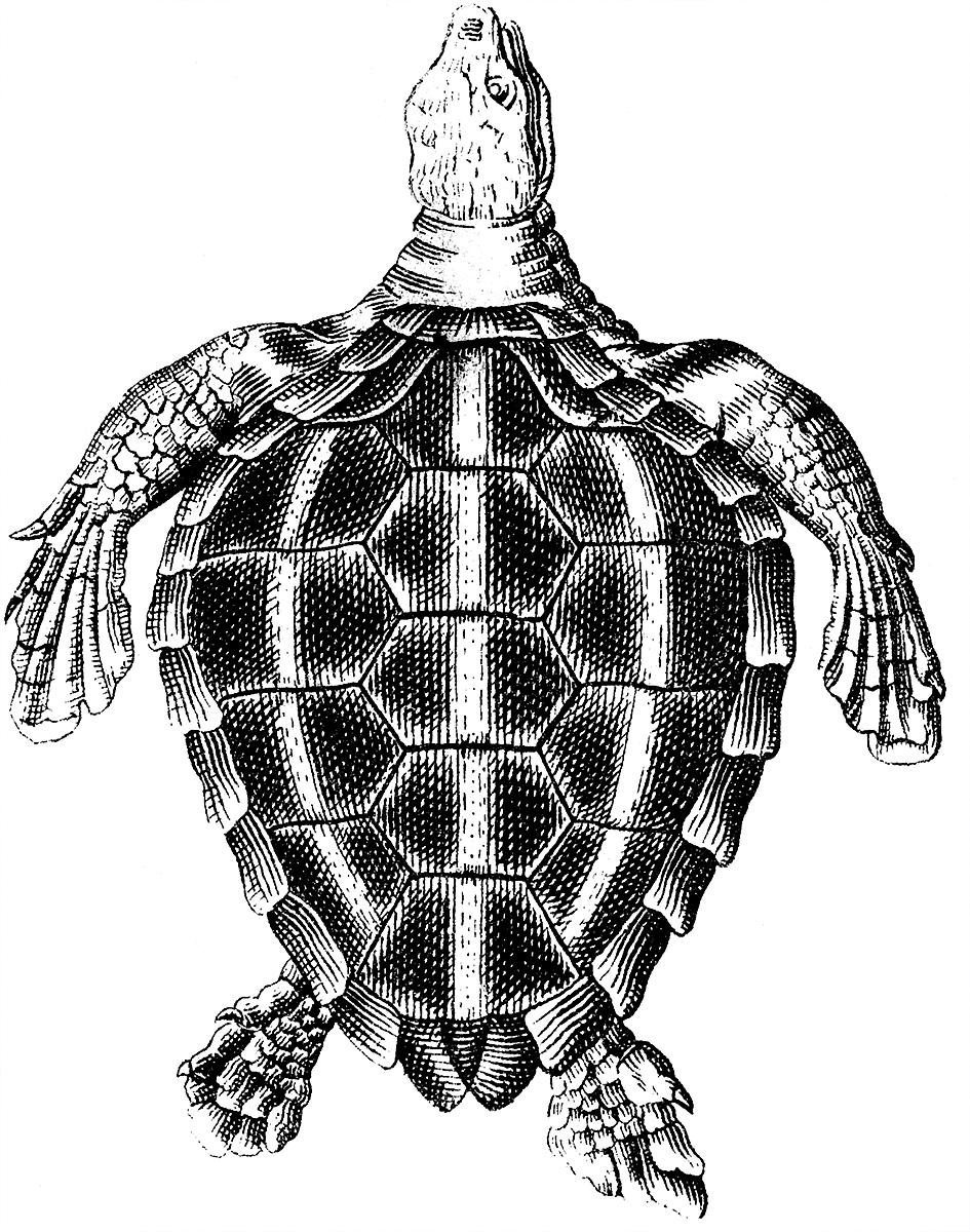 11 Turtle Illustrations + Turtle Skeleton Clipart! - The ...
