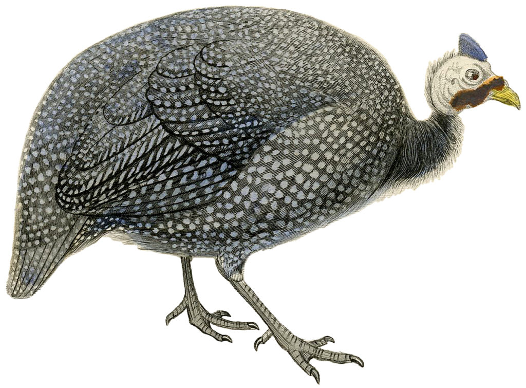 Fascinating Vintage Speckled Guinea Fowl Image!