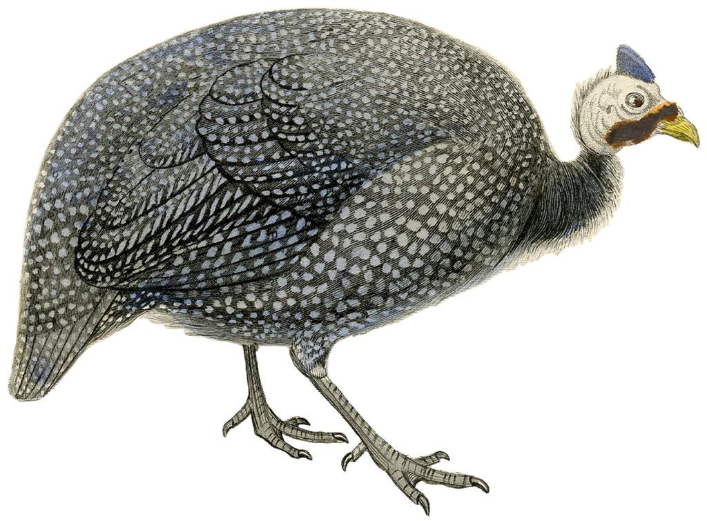 Fascinating Vintage Speckled Guinea Fowl Image!