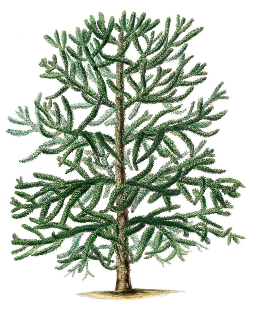 Christmas Tree Botanical Image