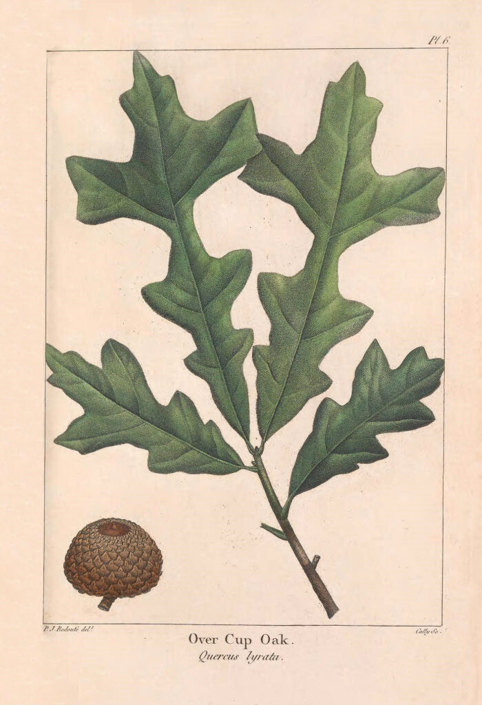 Oak Leaves with single Acorn