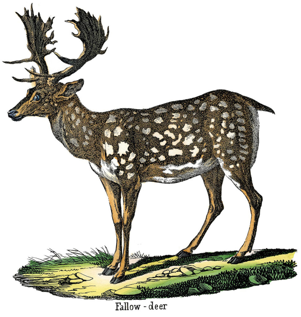 Spotted Fallow Deer Image