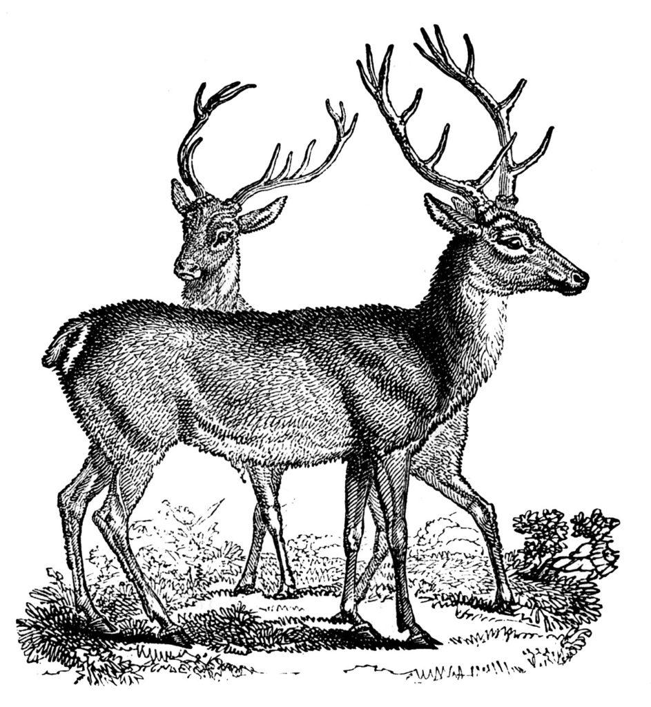 2 Deer Clip Art